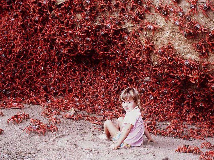 Los Cangrejos Rojos De La Isla De Navidad 02
