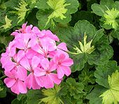 Yes, it's spring... but this is you'll want to know how to OVERWINTER those GERANIUMS you just got so you have them for next year too