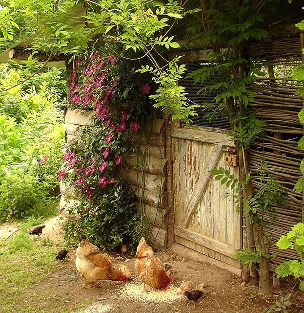 Cottage Life / Another shot of the chickens with chicks and the Clematis   Flickr - Photo Shar