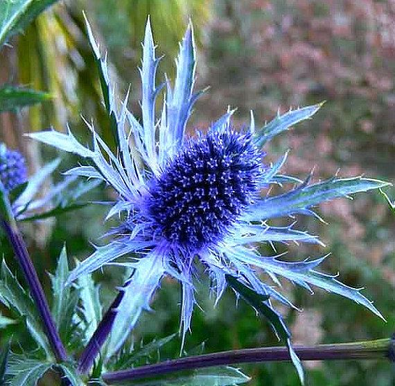 Eryngium planum Blue Sea Holly 25 seeds deer proof  by SmartSeeds, $2.99--Direct sow the seeds in autumn.