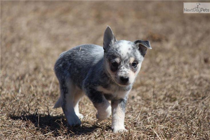 Australian Cattle Dog Blue Heeler Puppy For Sale Near