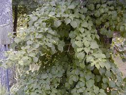 Hortensia petiolaris - Google zoeken