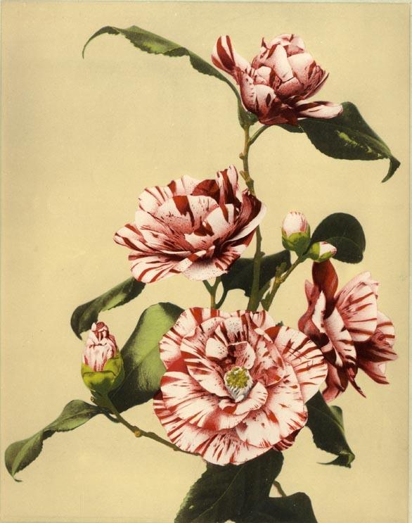Ogawa (FLE0011)  Etude de fleurs, Japon 1893. Collotype réhaussé à l'aquarelle. 23 x 28 cm. FLE0011  Prix : 320.00€
