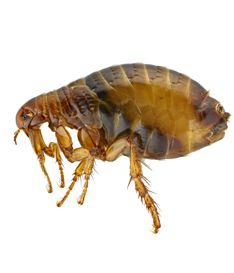 Fleas are often introduced into the home by household pets, cats and dogs. Fleas are blood sucking parasites with a light brown colouration, generally 2 – 7 mm in length with a flattened appearance, allowing them to move very easily and quickly.