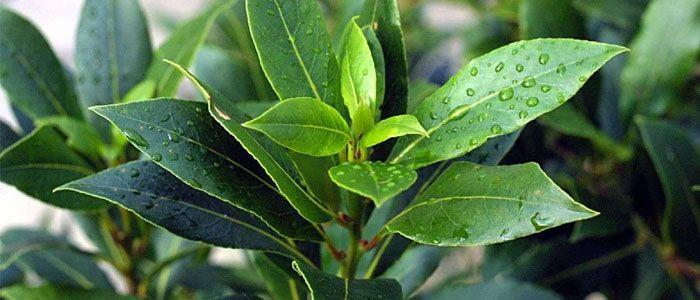 Babér, a sokoldalú fűszernövény - Természet Patikája Egyesület