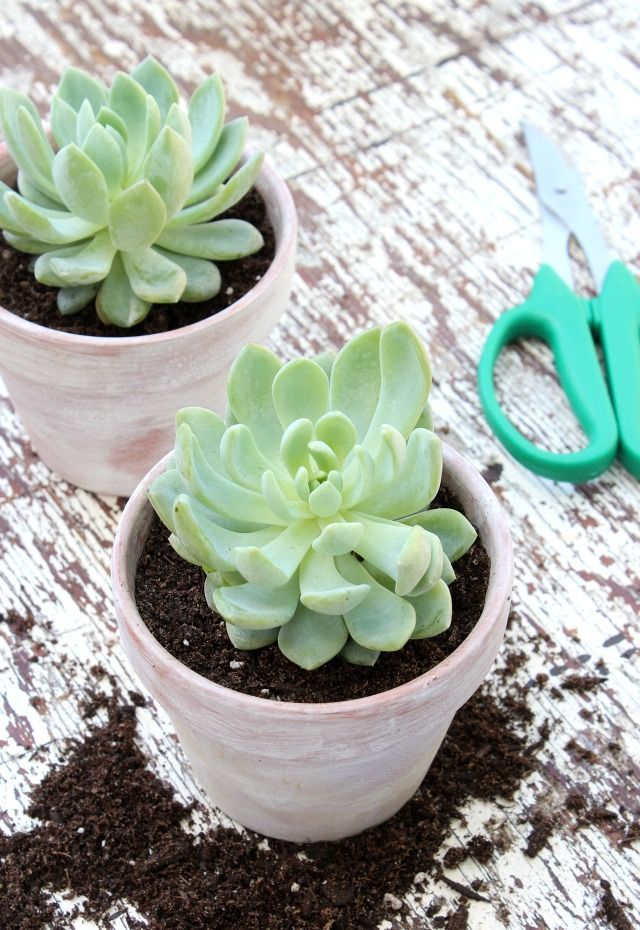 Tips for repotting succulents, as well as a quick and easy method for giving new terracotta pots a weathered or aged look.