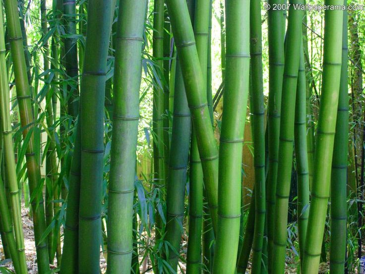 50pcs/bag Moso Bamboo seeds. Phyllostachys heterocycla Pubescens-Giant Moso Bamboo Seeds for DIY Home Garden Plant