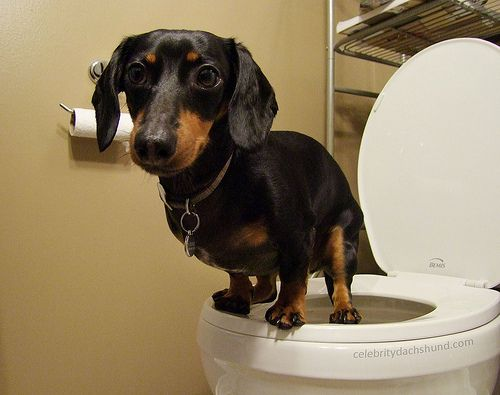 7 Best Crusoe the Celebrity Dachshund images | Crusoe the ...