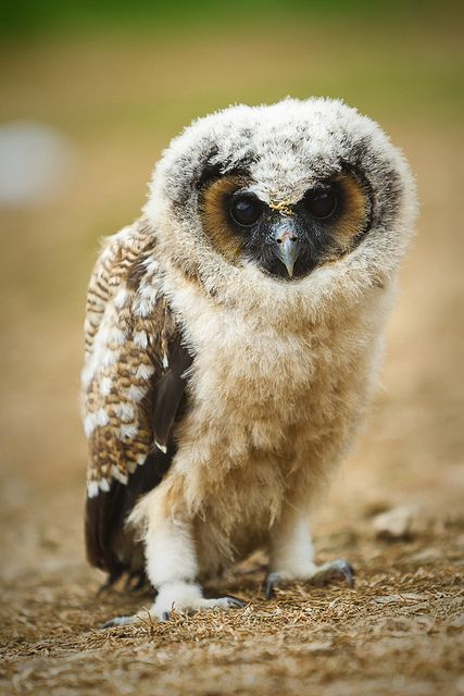 Brown Wood Owl chick.