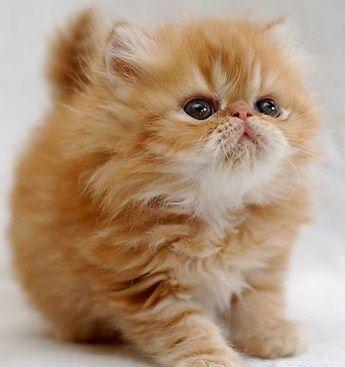 Fluffy orange kitten.