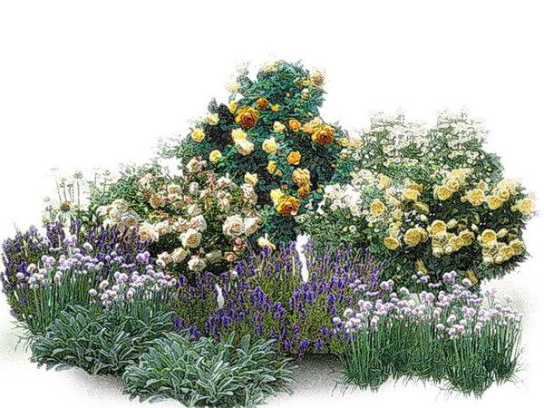 """Композиция для """"Сада ароматов"""". Розы: Crocus Rose, Golden Celebration, the Piligrim. Партнеры: душица, луки, энотера, иссоп, чистец, пиретрум девичий."""