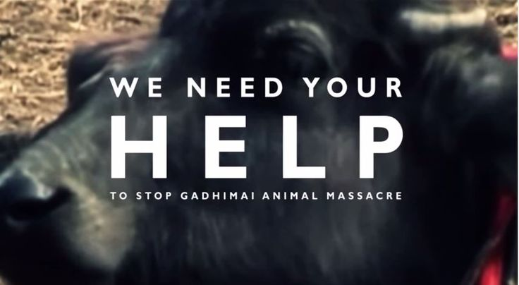 Every five years, the month-long Gadhimai festival is held in southern Nepal to honor the Hindu goddess of power, Gadhimai. Approximately 500,000 animals are brutally slaughtered, making this the world's largest sacrifice of animals. The next such festival is scheduled for November 2014,  Help stop this ruthless massacre by signing our petition at EndTheSacrifice.org  #animalrights #animalsacrifice #worldslargestmassacre