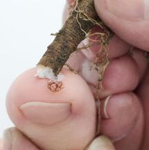 What are warts? Find out about natural remedies and treatments that may help to remove those unsightly growths.
