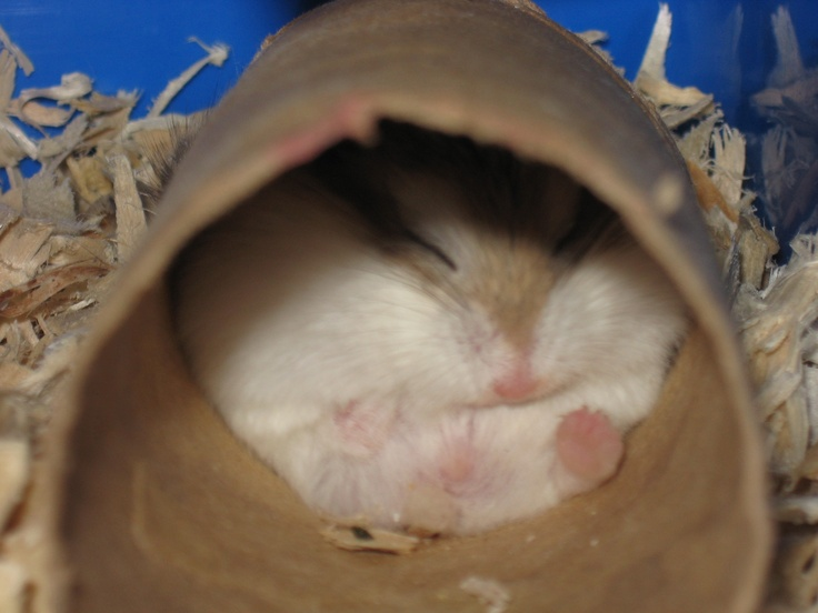 133 best images about Hampster on Pinterest | Hamsters ...