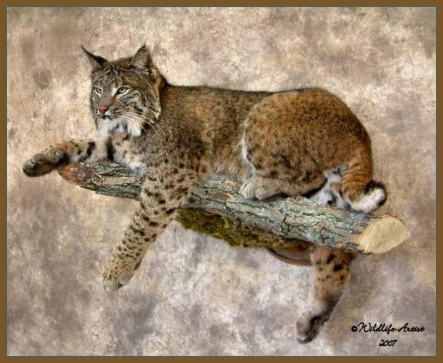 21 Best Bobcat Mounts Images On Pinterest Bobcat Mounts