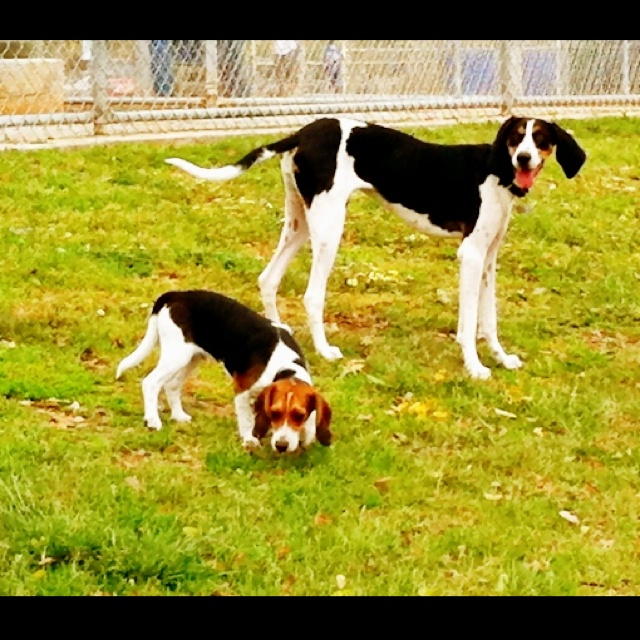 For everyone who asks if my walker hound is a beagle lol...big difference :) (beagle puppy next to a walker hound)