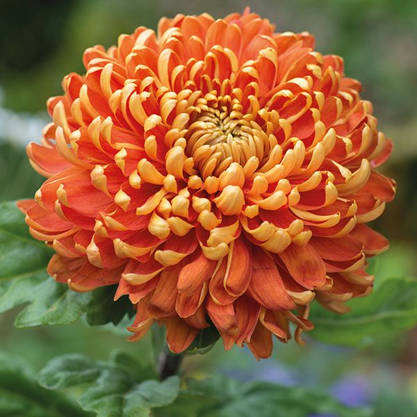 Chrysanthemum 'Astro Dark'                                                                                                                                                                                 More