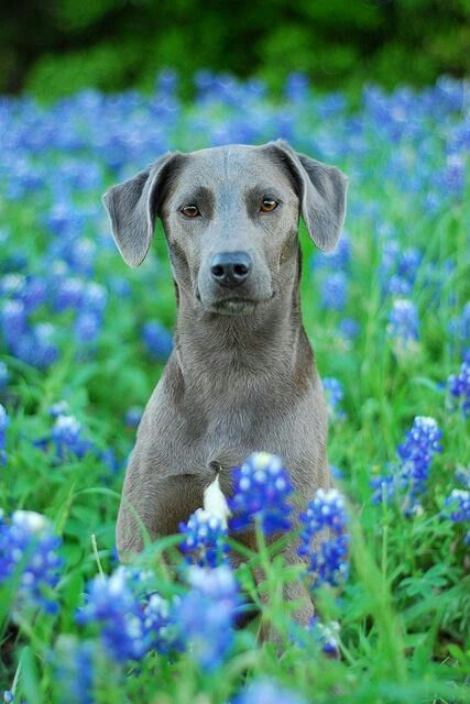 Blue Lacy - state dog in Texas surrounded by bluebonnets such a lovely photo