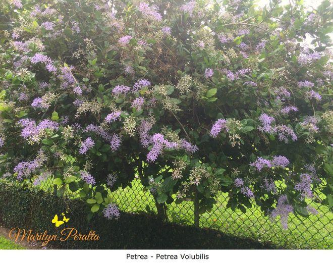 Petrea. Nombre científico: Petrea Volubilis. Una enredadera espectacular. Produce unos racimos de flores moradas o blancas que la hace una planta muy hermosa para cualquier jardín.