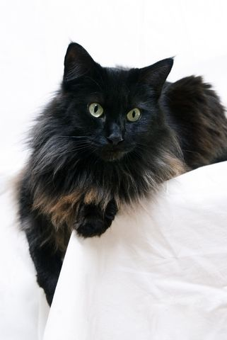Maine Coon Cats are the best, smartest, most affectionate cats ever!  This cat looks so much like Paint.  She is so sweet and so affectionate. She and her brother, Billy the Kid, are great partners.