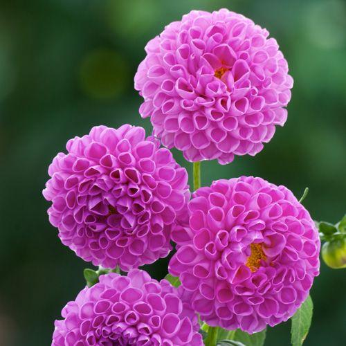 DAHLIA 'Ma Mère Grand' (Dahlia pompon) : Vivaces originaires du Mexique et d'Amérique centrale. Les différentes formes de fleurs et leurs sublimes coloris font du Dahlia un complément de décor indispensable aux massifs d'été et d'automne. Planter dans un sol riche et bien drainé, enterrer le tubercule sous 10 à 15 cm de terre. Dahlia pompon (fleurs doubles, sphériques, pétales incurvés). Fleurs mauve intense.