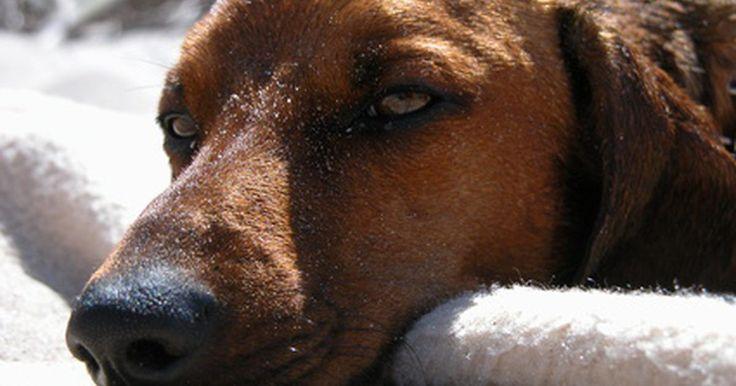 Benadryl para cães com coceira