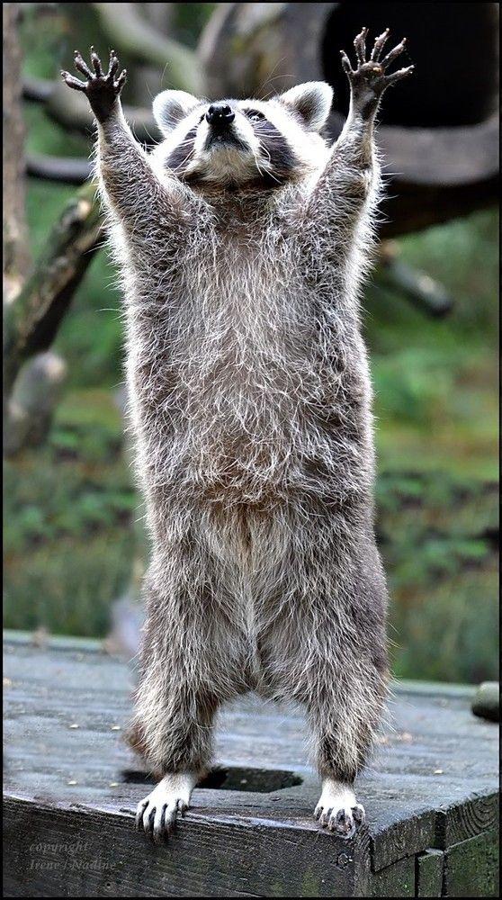 Oder Pfoten hoch...wo bleiben nur die Leckerlies ????   Die Waschbären können echt profimäßig posieren....wenns was zu fressen gibt :-)   WP Lüneburger Heide/ Nindorf