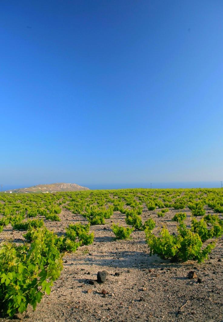 Megalochori vineyards, Santorini  www.santoriniheritagevillas.com #santorini #santorinivillas #greece #travel