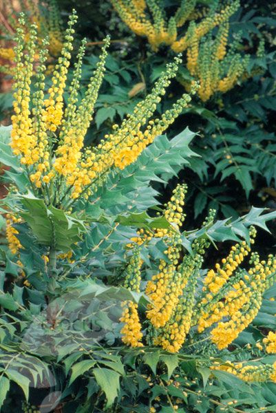 Mahonia × media 'Winter Sun' prefers shade and delivers bold spikes of bright yellow flowers from Nov to March.  It is a big plant, up to 5m x 4m, if not pruned back.  Best planted with other shrubs in front to hide its 'legs'.