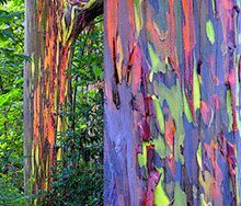 Rainbow Eucalyptus Tree- Jaw dropping color scheme as bark peels revealing Incredible beauty underneath. Only Eucalyptus tree that is native to the northern hemisphere.