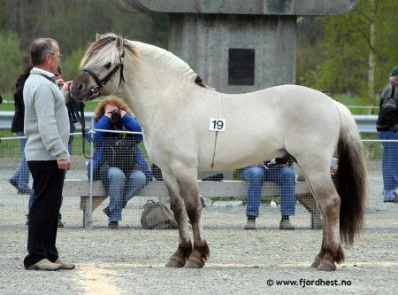 Norwegian Fjord Stallion Gr 229 Ggi With Fjords This Color