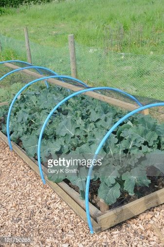 Raised bed with cabbages covered by netting as pest prevention