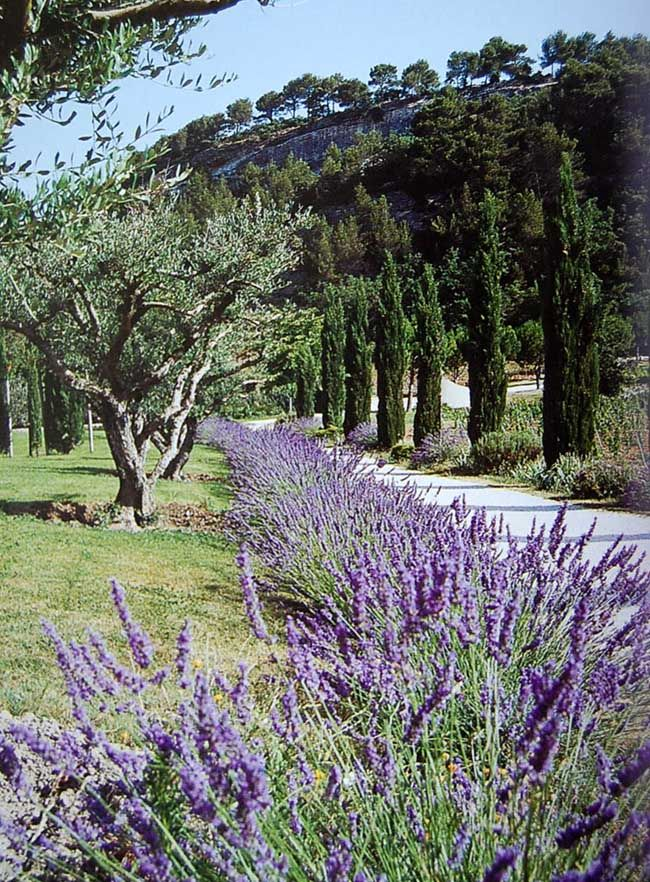 Olive trees, lavender and Cupressus sempervirens 'Pyramidalis' punctuating the classic Mediterranean landscape.