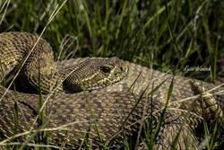 rattlesnake sitting in the grass in Saskatchewan