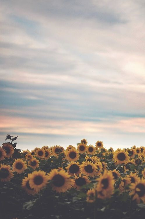 Photo sunflowers screen saver iphone background