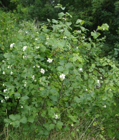 Snowberry is a great native bush that goes well in a shady landscape, also by streams