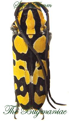 Cerambycidae : Tragocephala variegata PAIR aa- - The Bugmaniac INSECTS FOR SALE…