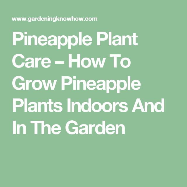 Pineapple Plant Care – How To Grow Pineapple Plants Indoors And In The Garden