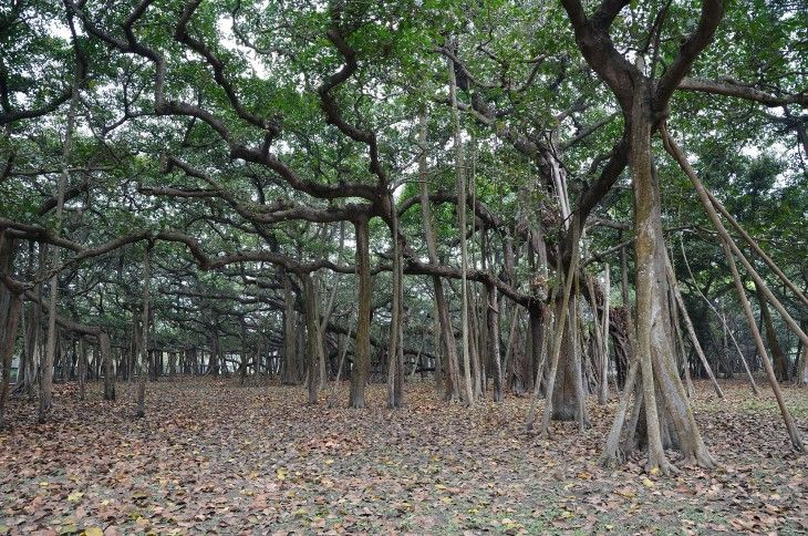 The Great Banyan Tree is located in the Botanical Garden of Acharya Jagadish Chandra Bose, near Caluta. This is one of the largest trees in the world, with 250 years old occupies 14,500 square meters. From a distance the tree looks like a forest, but it is not really, but what resemble small logs are aerial roots of the tree, about 3600.