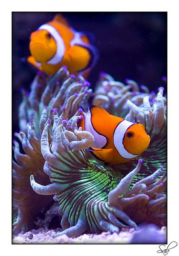 23 best images about percula clownfish on pinterest lps for Closest fish store