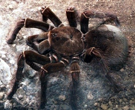 """Only the biggest spider on earth, this plate-sized bird-gnawing beast actually prefers to feast on smaller fare, like bats, bugs, and annoying children. In other words, the bird-eating spider rarely eats birds. Sure. Anyway, like its tarantula cousin below (the whistling spider) the Goliath or bird-eating spider is at risk due to its Amazonian habitat destruction. Though tarantulas are scary, they're fairly harmless to humans.  Whistling Spider"" - stardust, a funny fellow pinner."