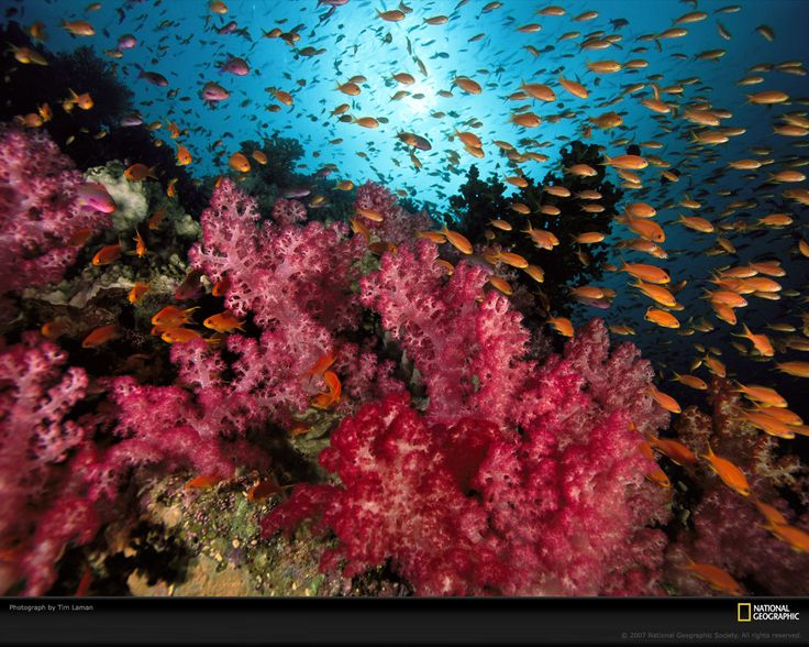 photographs of coral reefs | Orange basslets in soft coral