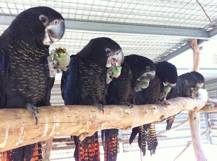 West Australian Black CockatooAustralian Black, West Australian, Black Cockatoo