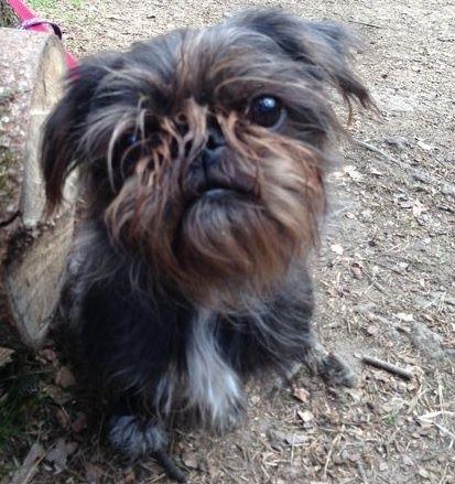 Pug and Shih Tzu Pug Zu | PUG MIXED BREEDS | Pinterest | Shih Tzu ...