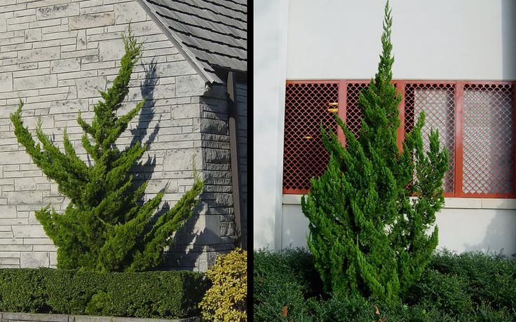 Hollywood Juniper is an interesting coniferous evergreen shrub or small tree that grows in an upright twisted fashion; you'll never find two of these plants that look the same.