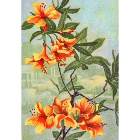 Garden Flowers 1926 Azalea Canvas Art - Myron Van Brunt (18 x 24)