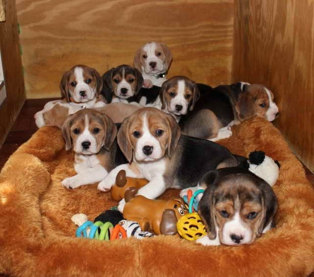 This Is Not How We Operate Ads 1 8 Of Beagle Puppies For Sale In
