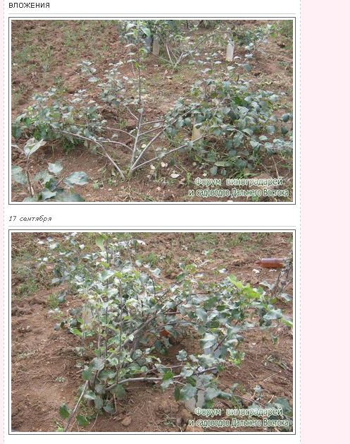 Укрытие персика на зиму - Интернет форум виноградарей и садоводов Дальнего Востока