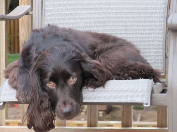 """Average Life Expectancy: 15 YearsA Boykin spaniel is also called a """"swamp poodle,"""" because of its de... - Luke Faraone / Flickr"""