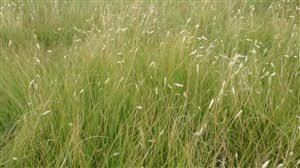 Image result for buffalo grass buchloe
